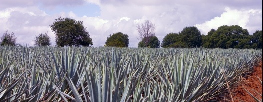A Brief Lesson on Tequila Production by Bill Norris